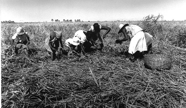 Haiti food crops flags maps economy history climate for African crops and slave cuisine
